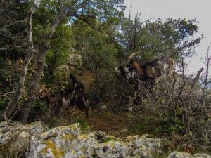 Incontro con capre selvatiche sul sentiero verso la cima